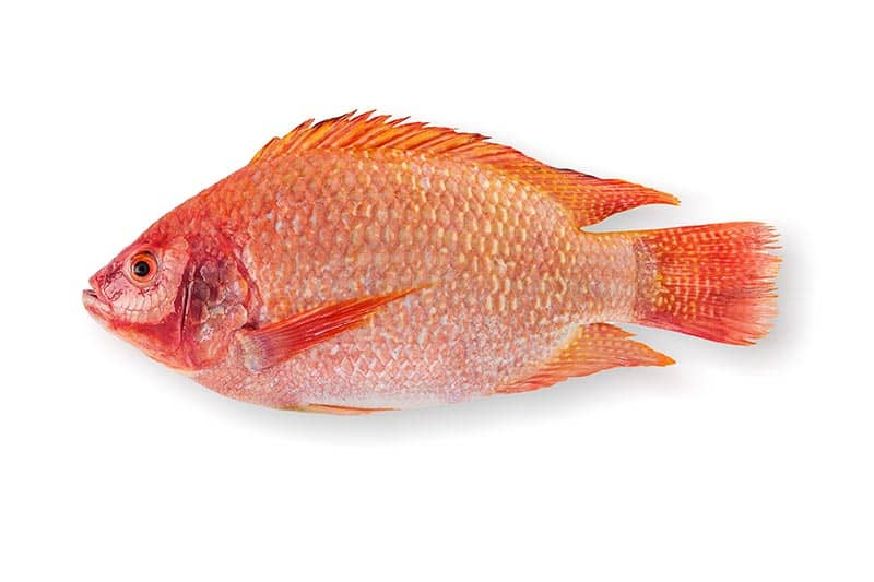 close-up photo of tilapia