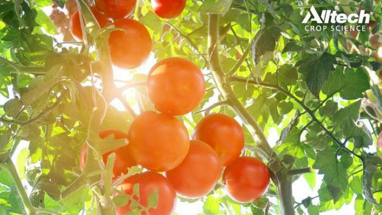 In search of the perfect tomato crop: Hormonal precursors aid in standardization