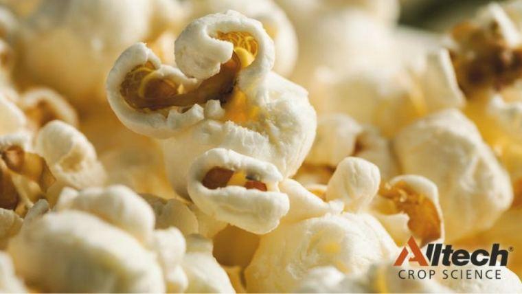Corn harvest pops despite weather stress