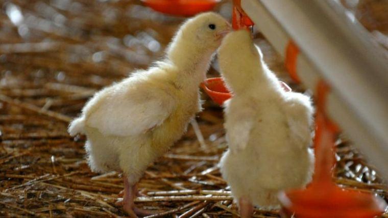 Antibiotic-free poultry programs take time