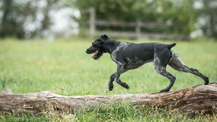 Cão correndo no gramado