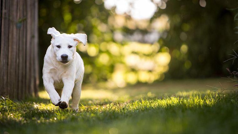 Cão saudável correndo no gramado