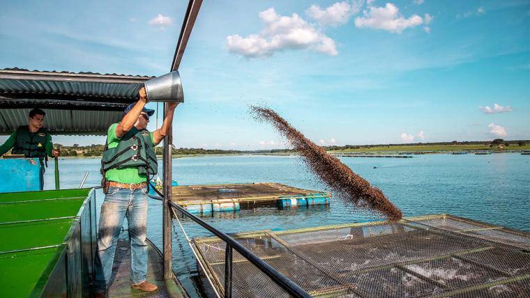 Produtor alimentando produção de peixes
