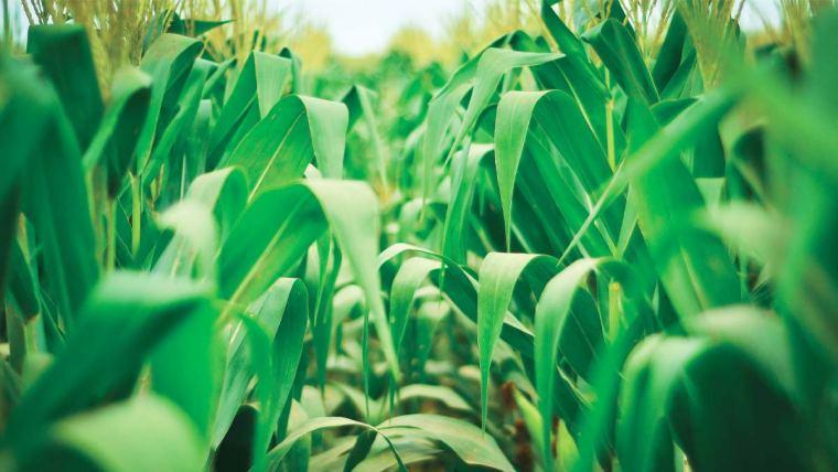 Plantação de milho para silagem