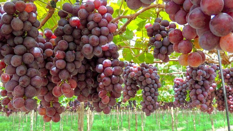 parreira de uva