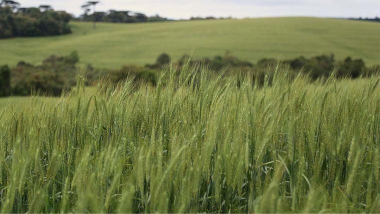 Lavoura de trigo no Paraná