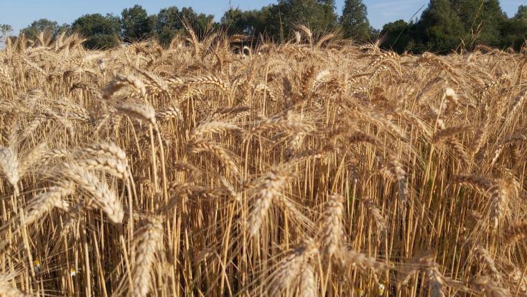 Hvede i centraleuropa kort før høst juli 2020