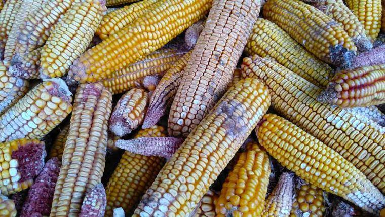 grãos de milho com micotoxinas