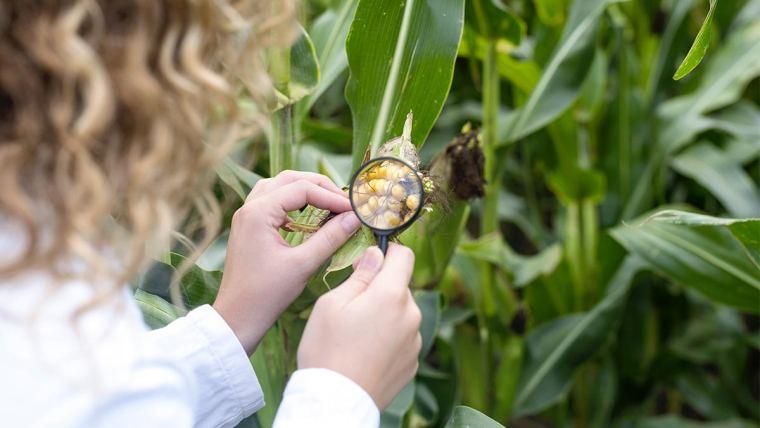 Cientista analisando espiga de milho na plantação