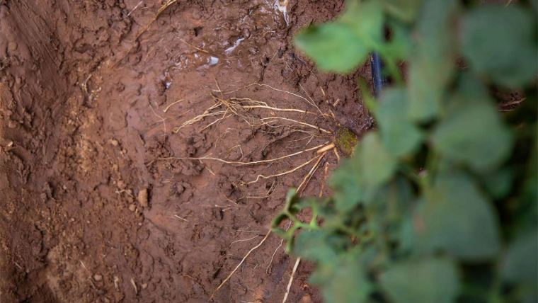 Soil-Plex Active no tomate