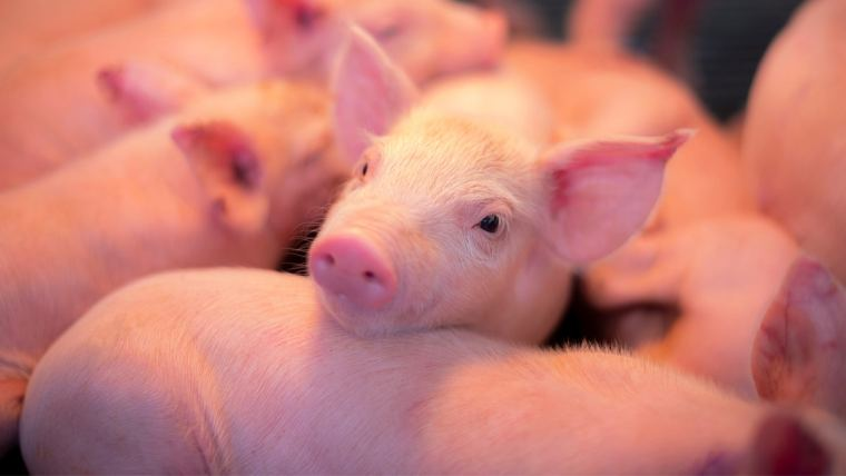 Conheça três estratégias para reduzir o custo de produção de suínos