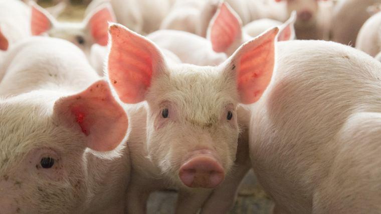 10 figyelmezető jel a sertésállomány mikotoxin-érintettségére