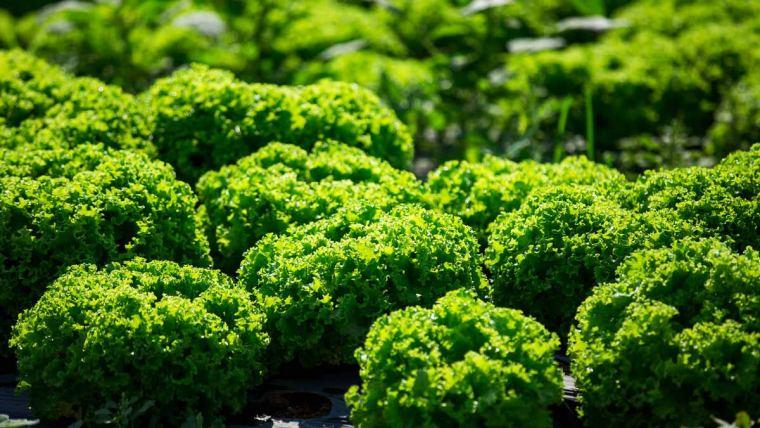 Aminoácidos auxiliam na redução de perdas de folhosas em períodos de geadas