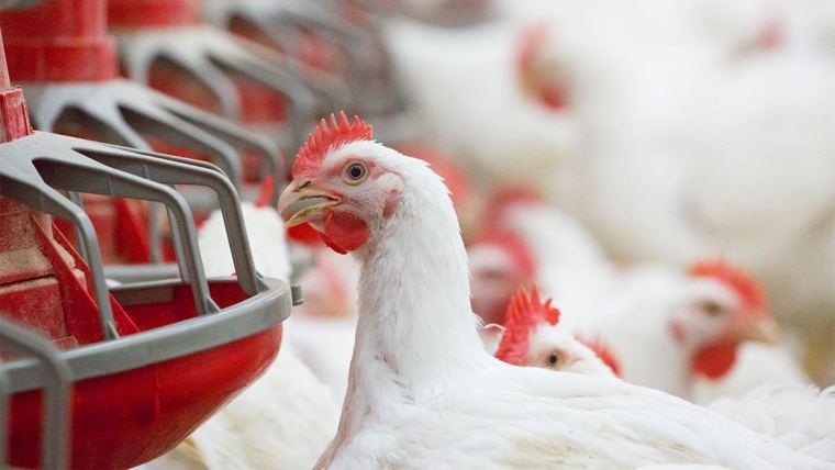 Alta de grãos: enzimas e controle de micotoxinas ajudam a reduzir custos na avicultura
