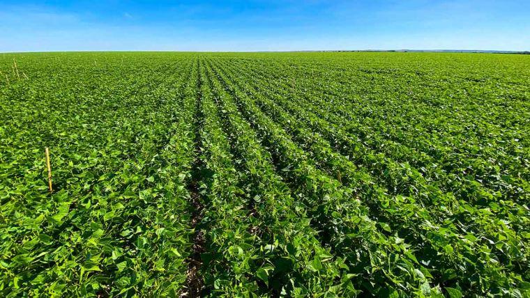 Pesquisa: cuidados na germinação incrementam a produtividade do feijão