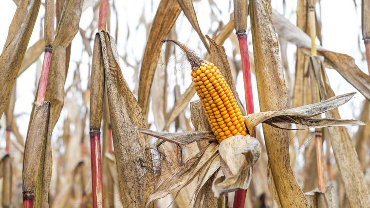 Bovinos: seca e geada impactam qualidade dos grãos para ração