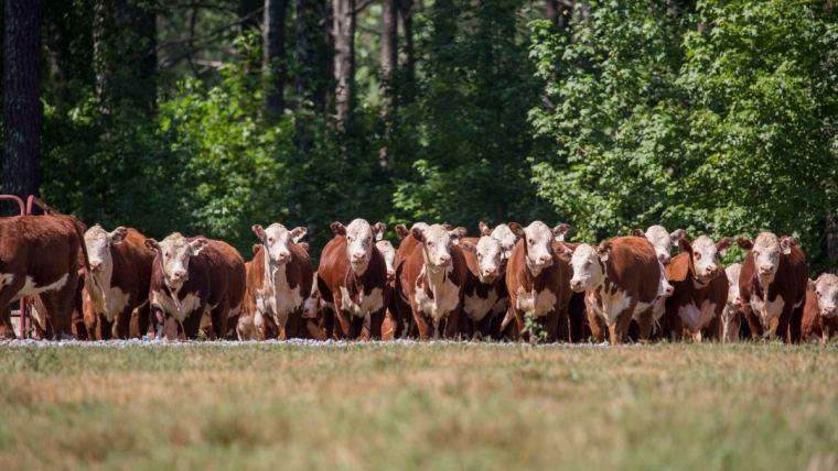 beef cattle in a field
