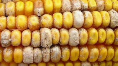 Harvest analysis: The mycotoxin threat to pig health