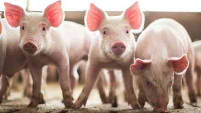 Cool for the summer: 3 tips to reduce heat stress in pigs