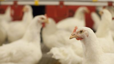 15 management tips for better poultry performance potential