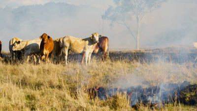 Photo - cows standing in a burning field