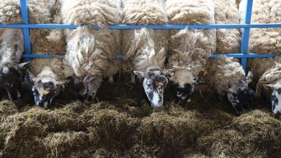 Sheep can benefit from using a KEENAN diet feeder