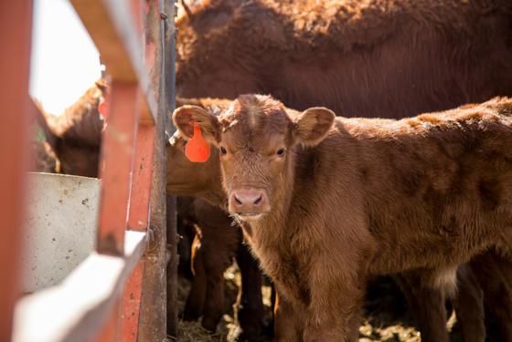 Beef Cattle | Alltech