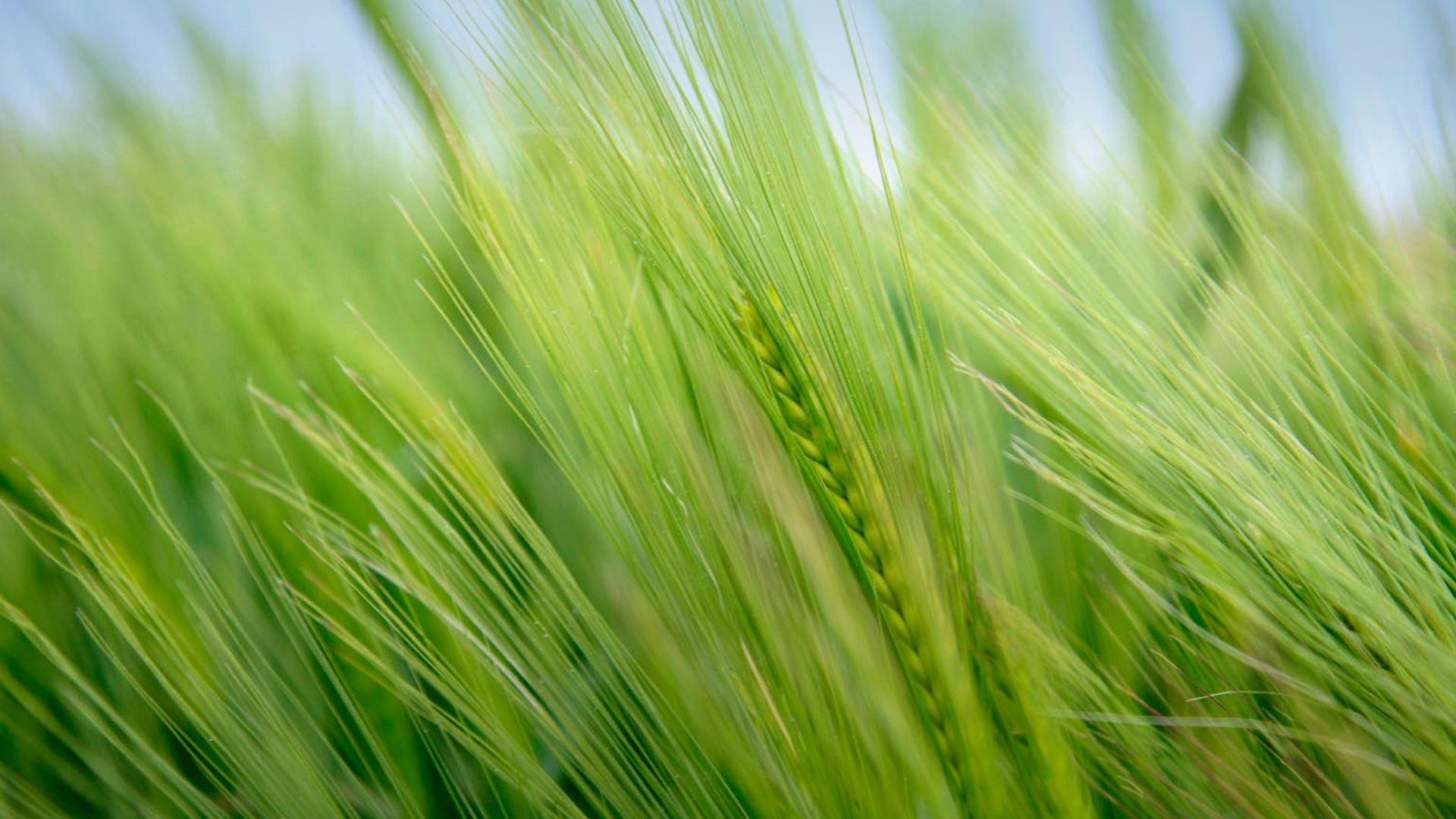 Wheat Hero