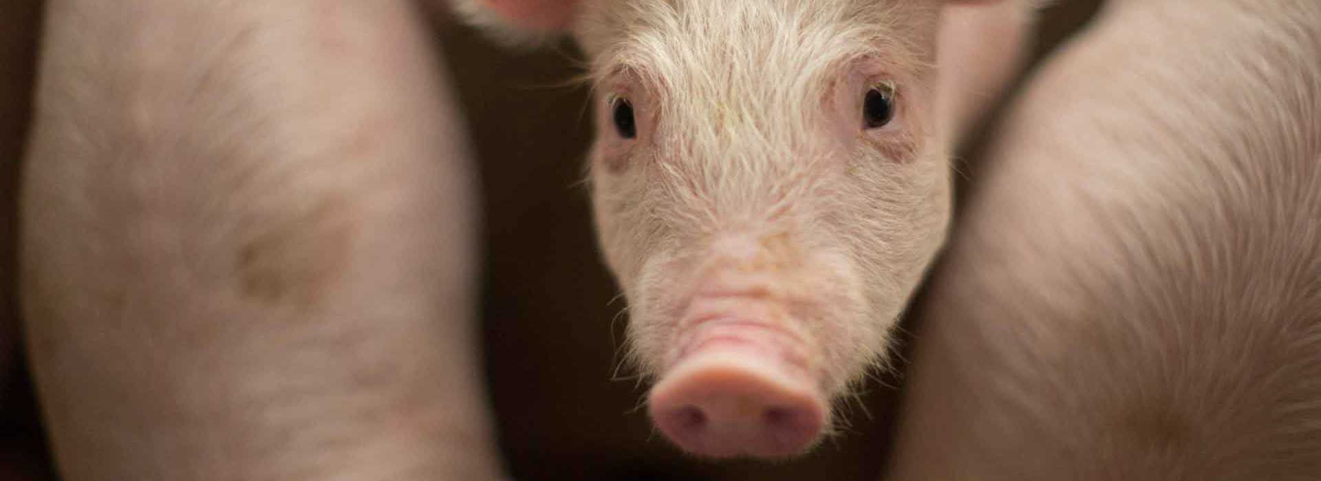 Pig hero