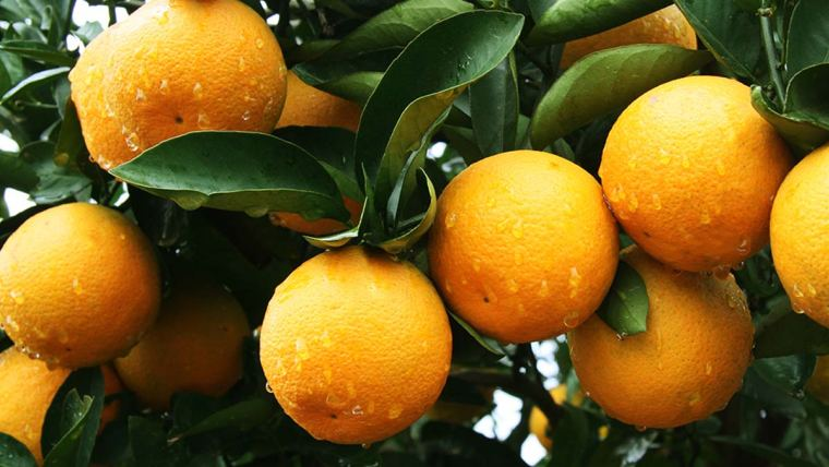 pomar de laranja