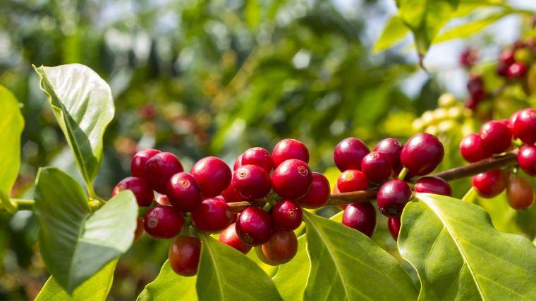 Café: uniformidade do grão influencia na produtividade dos cultivos e qualidade da bebida