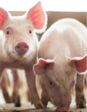 Solid success: supporting piglet health at weaning - Research PDF