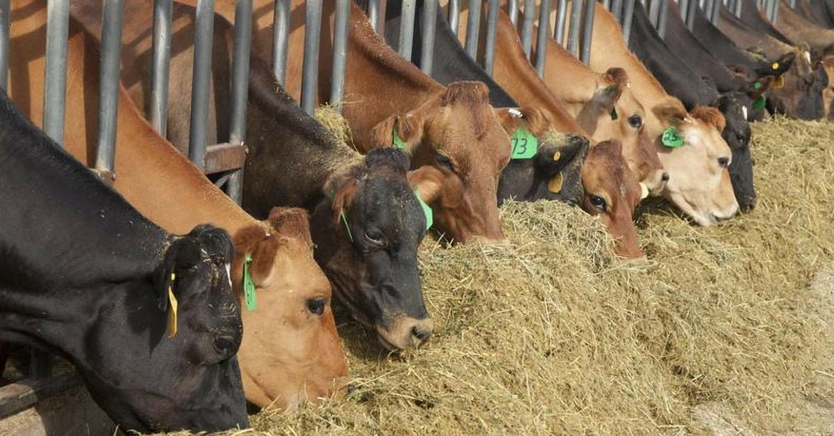 Calculate and improve your dairy's income over feed cost